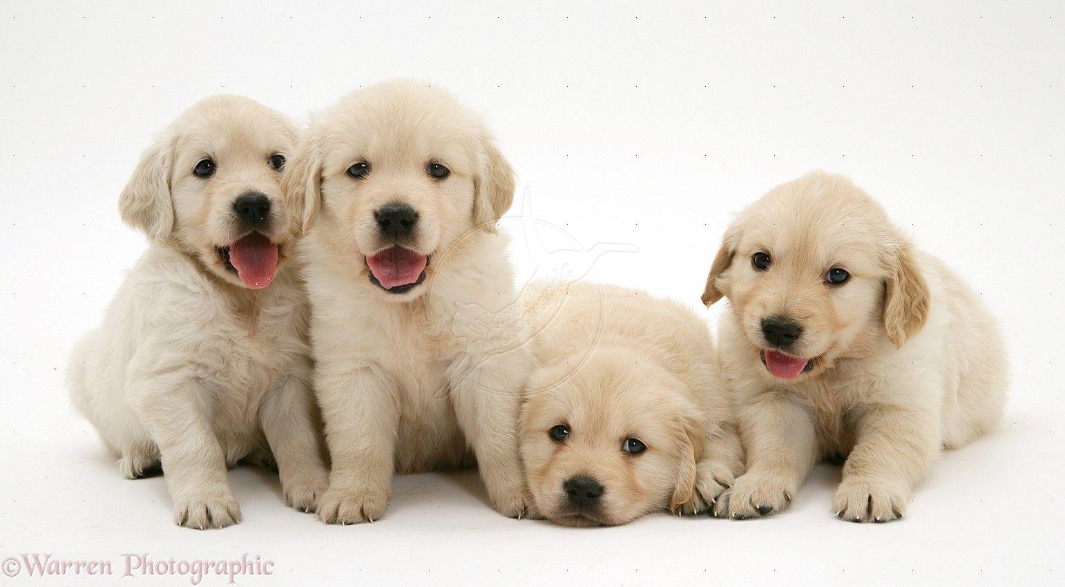 golden retriever puppies hd wallpapers download free
