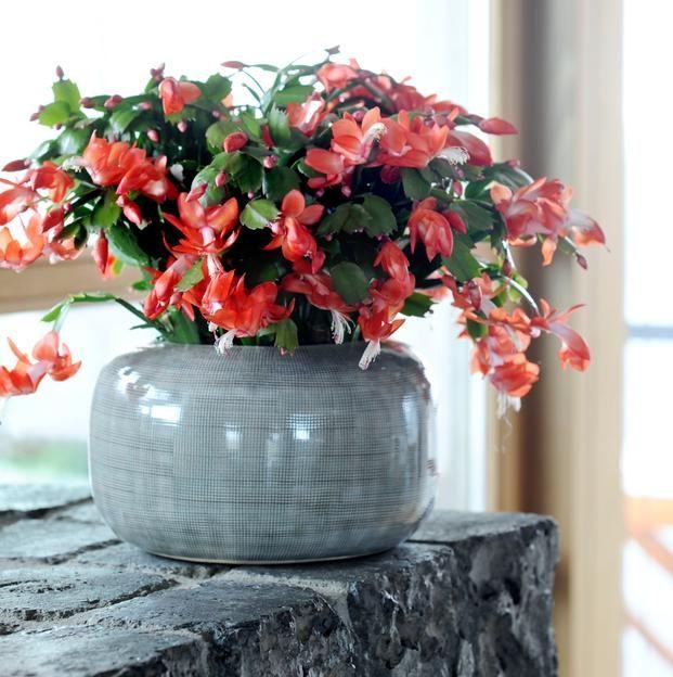 Kwiaty Doniczkowe Do Domu Galeria Zdjec Plants Indoor Plants Flowers