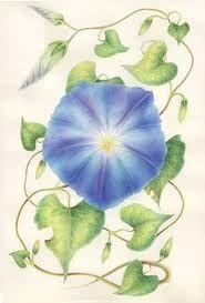 Ipomea Wie Man Blumen Malt Aquarellbilder Botanische Illustration