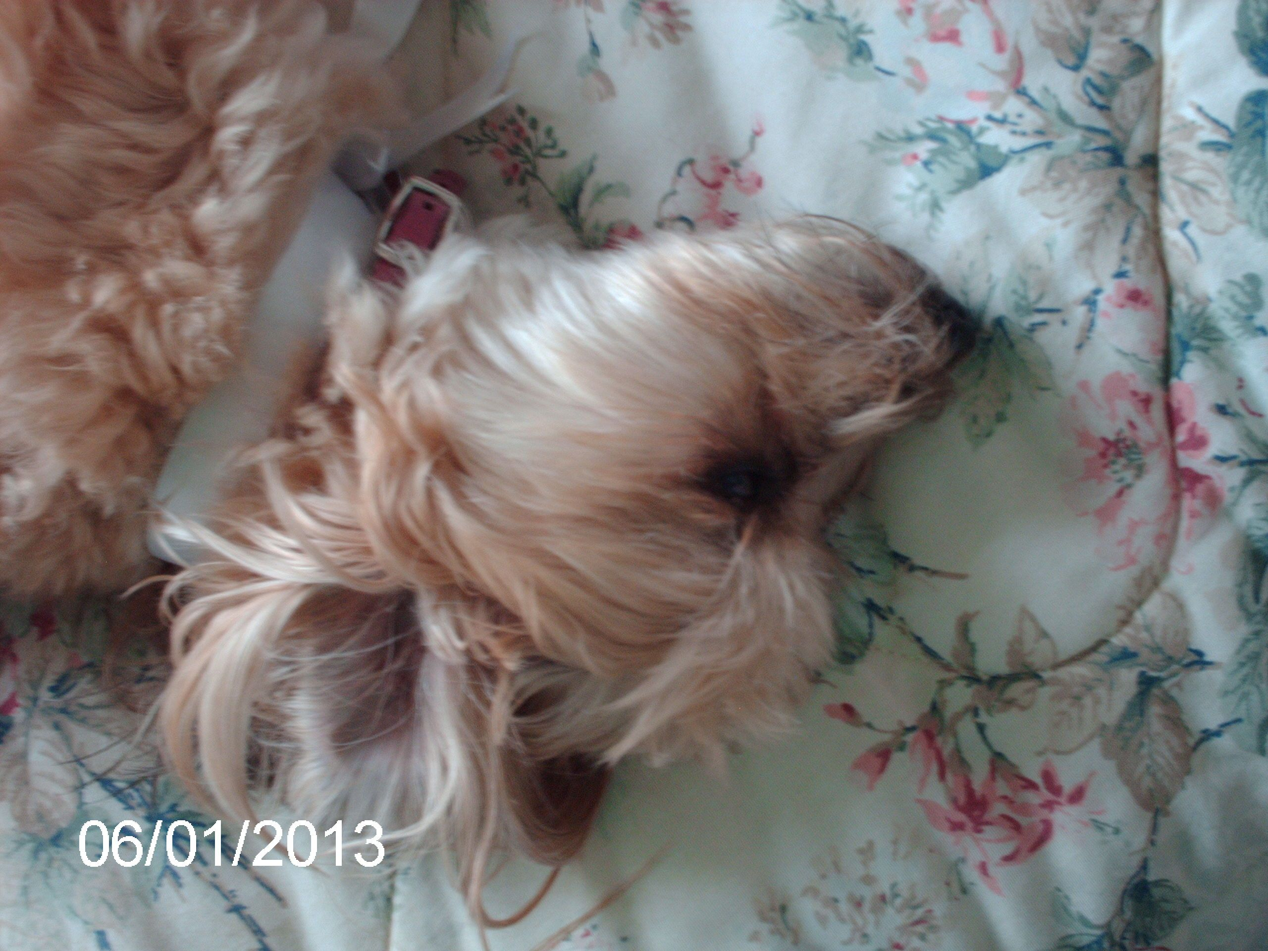 Our Yorkie Poo Mocha Being Silly On The Daybed Yorkie Puppies Dogs