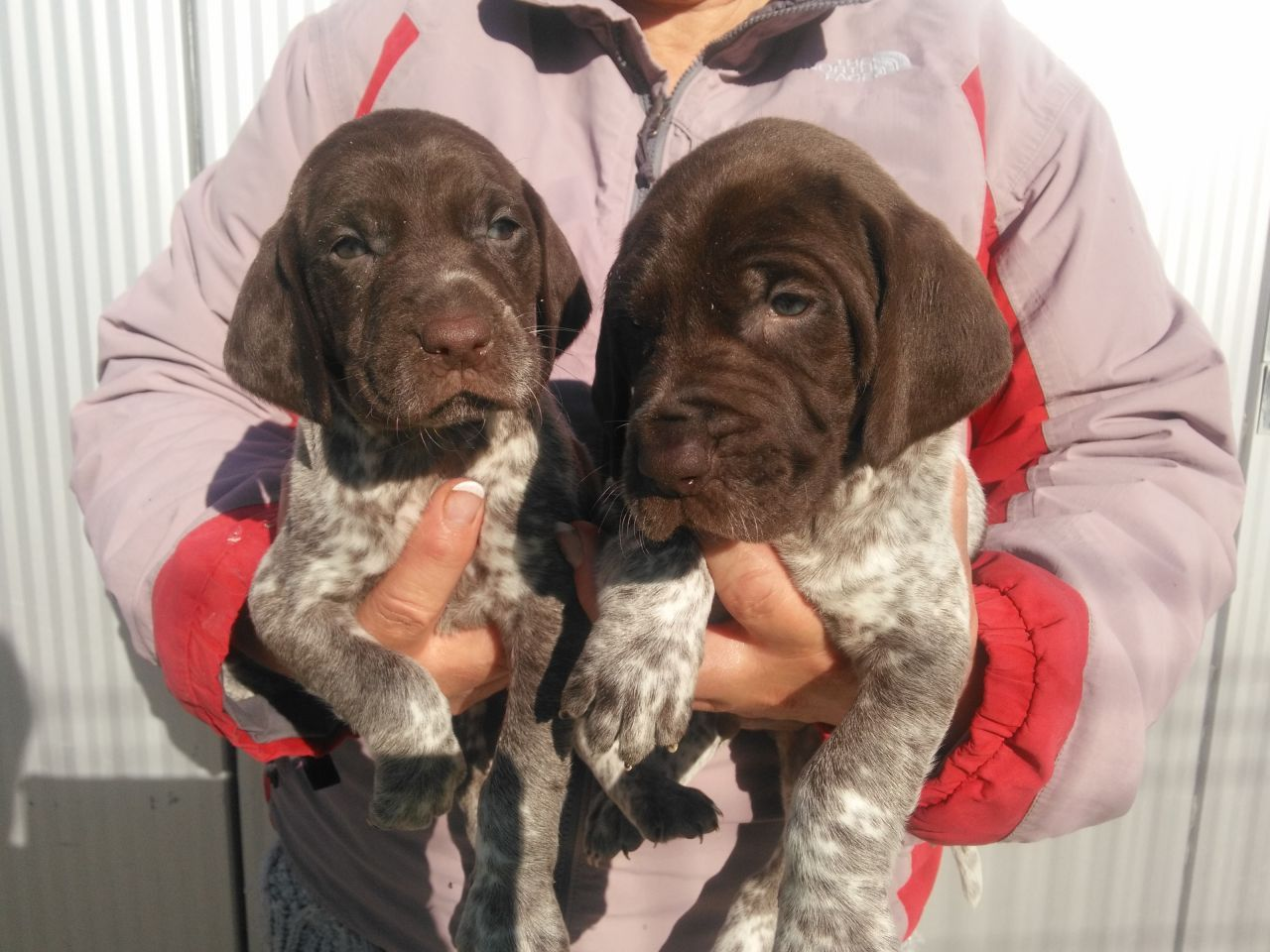 German Shorthaired Pointer Puppies For Sale Atlanta, GA