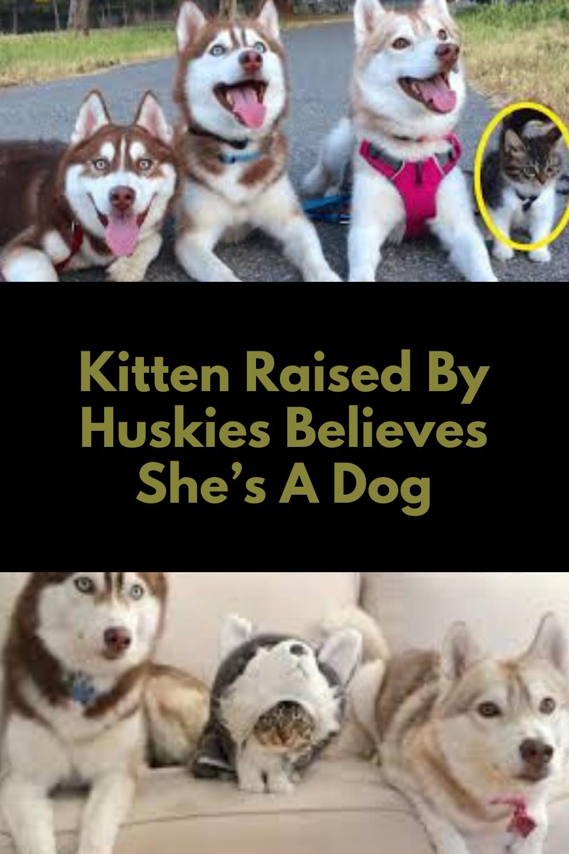 Kitten Raised By Huskies Believes She S A Dog In 2020 Adorable Kitten Kitten Unique Cats