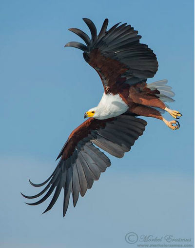 This Beautiful Image Of The African Fish Eagle Visarend Was Taken By Morkel Erasmus South Africa Animals Wild Birds South African Birds