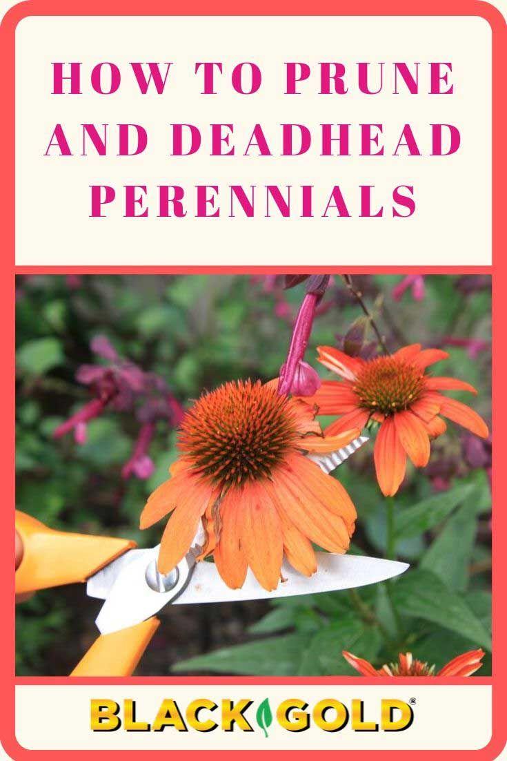 How To Prune And Deadhead Perennials Perennials Perennial Garden Flower Farm