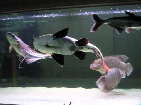 Pin On Red Tail Catfish