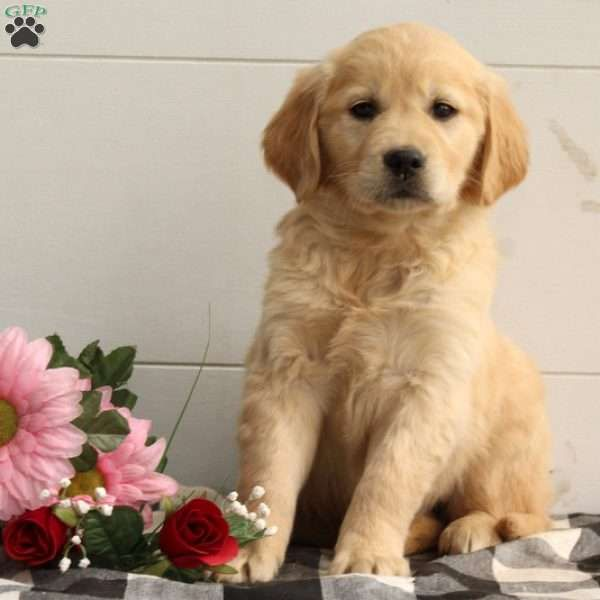 Hank Golden Retriever Mix Puppy For Sale In Pennsylvania