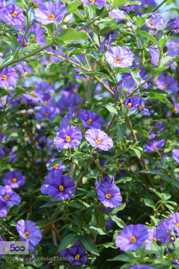 blaue Blüten Strauch mit blauen Blüten im Garten der Welt Nature