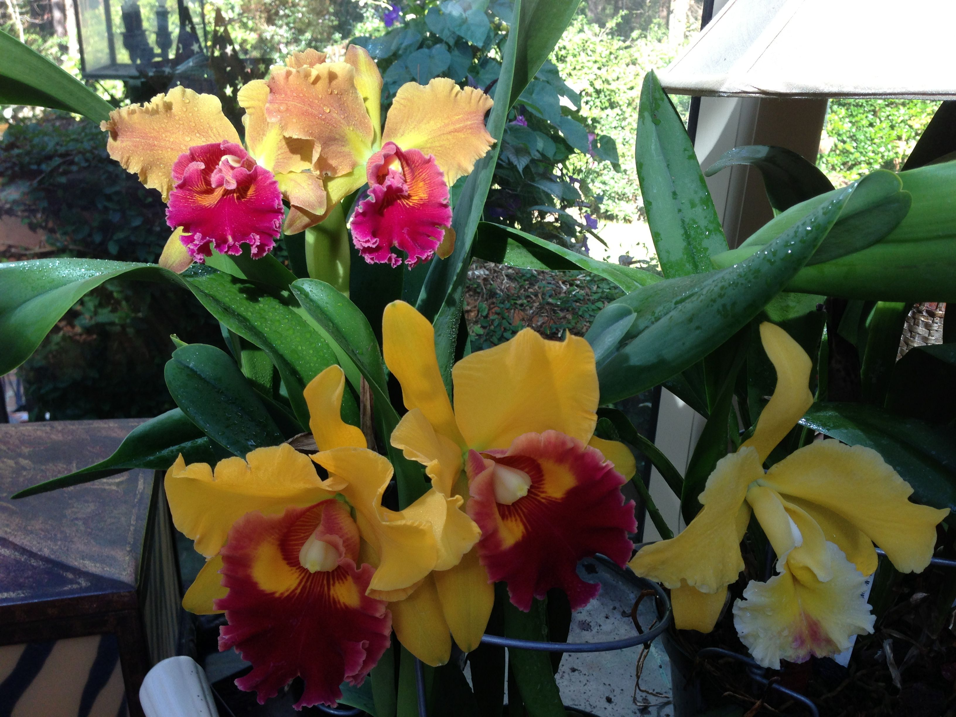 These yellow orchids are blooming in November in my