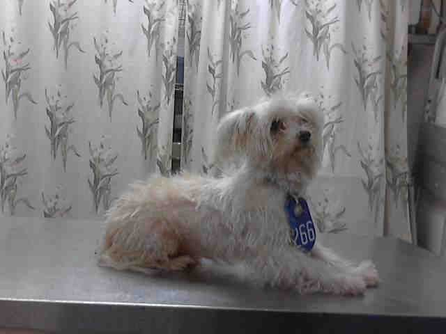Texas Urgent Yorkie Id A394024 Is An 8yo Senior Maltese In Need Of A Loving Adopter Res Animals Yorkie Animal Control