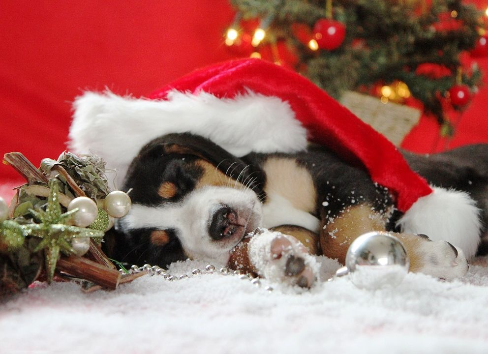 Christmas Puppy Christmas Puppy Christmas Puppies Pictures Christmas Animals