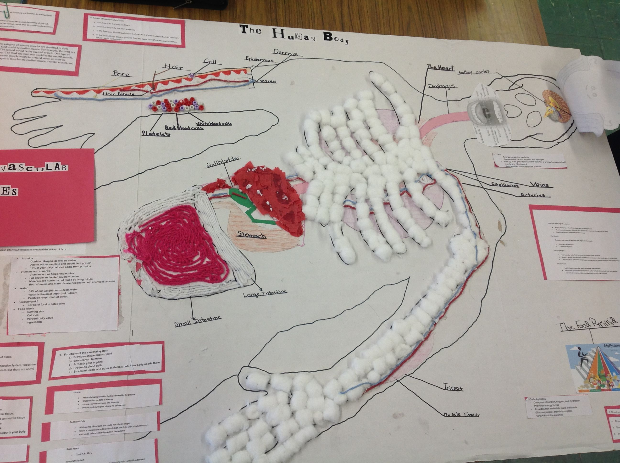 Human Body Systems Project Cotton Ball Bones And Yarn