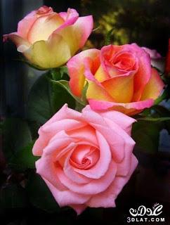 صور ورود 2020 اجمل صور زهور احلى صور ورود جميلة زينه Beautiful Rose Flowers Rose Flower Flowers