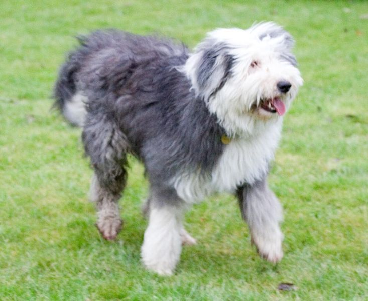 A Collection Of Old English Sheepdog Photos Greatdogsite Com English Sheepdog Old English Sheepdog Most Popular Dog Breeds