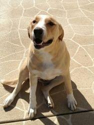 Noel Is An Adoptable Yellow Labrador Retriever Dog In Belleville