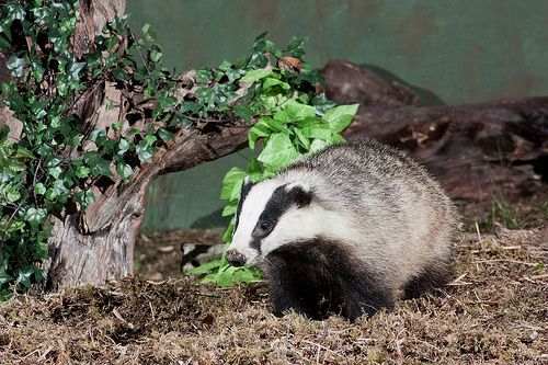 10 Intriguing Animals Whose Names Start With The Letter B Badger Scottish Animals Forest Photos Animals