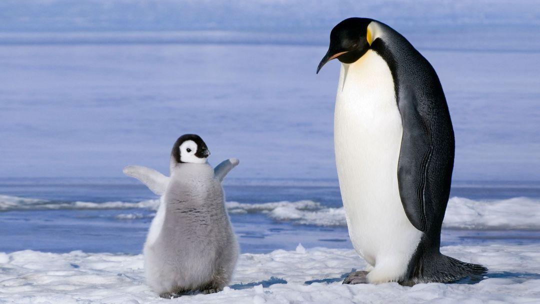 Baby Penguin Android Iphone Desktop Hd Backgrounds Wallpapers 1080p 4k 115821 Hdwallpapers Androidwallpapers Ip Baby Penguins Penguins Pet Birds