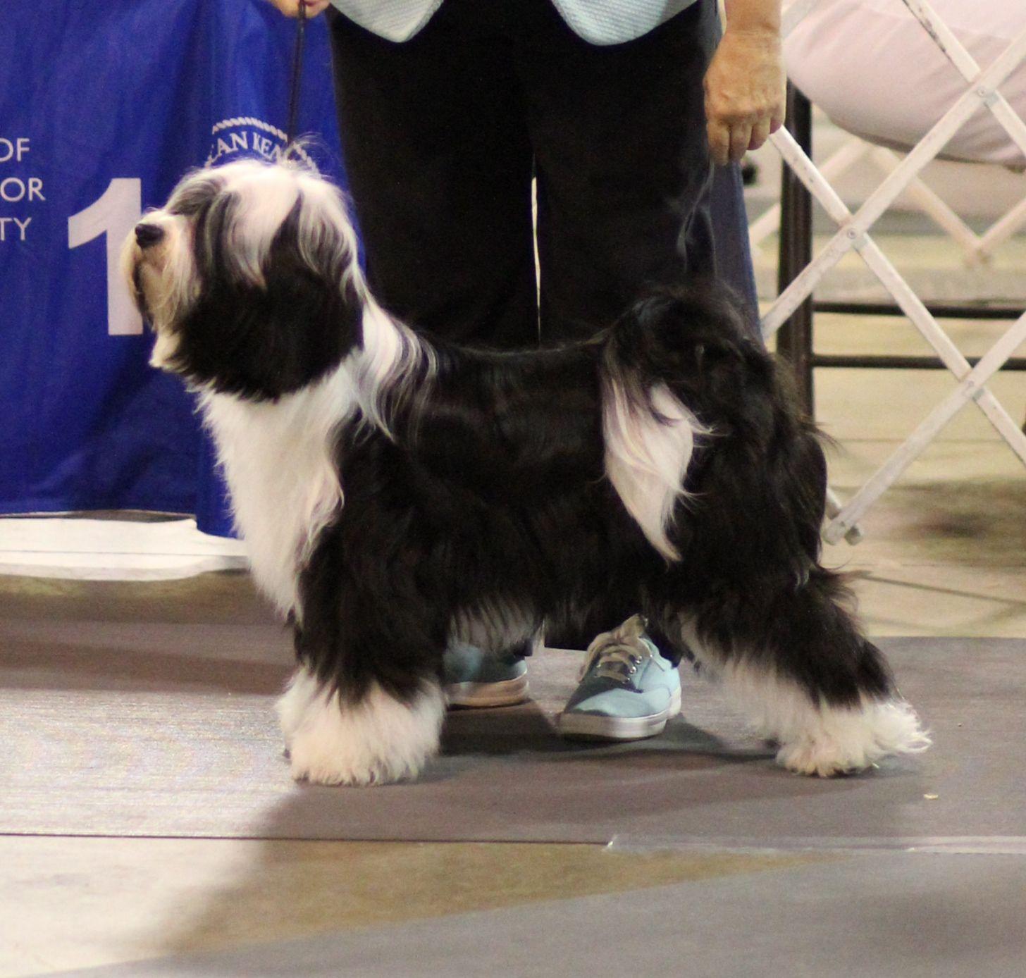 Tibetan Terrier (With images) Tibetan terrier, Terrier