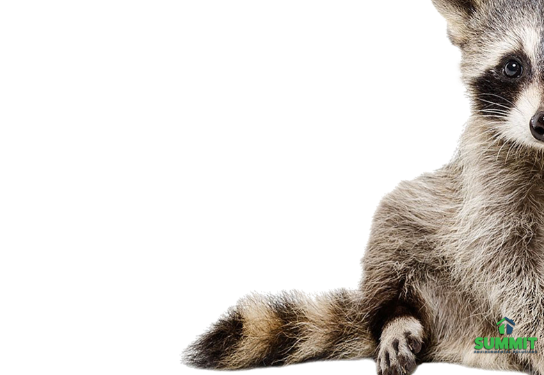 Errrr I Promise Not To Make A Mess In Your Attic His Toes Are Crossed For Humane Raccoon Removal Call Summit Now 703 55 Raccoon Removal Raccoon Animals