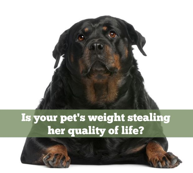 Let #HillsPet Give Back Your Dog's Quality Of Life - The Lazy Pit Bull http://www.thelazypitbull.com/2014/04/overweight-pet-2/