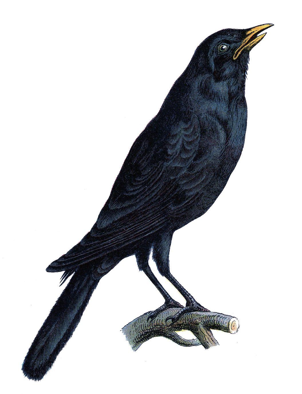 Vintage Halloween Clip Art | Vintage Image - Old Crow - Halloween - The Graphics Fairy