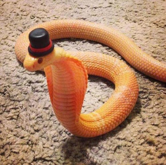 Dapper Danger Noodle - Imgur