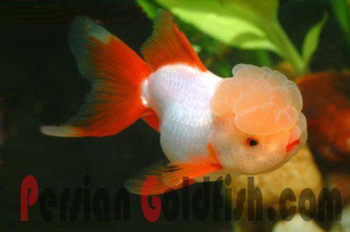 Pin on Goldfish, ect