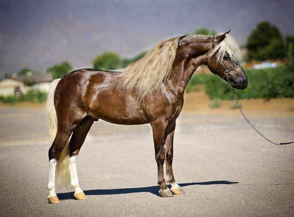 rivenburgh miniature horse, arenosa miniature horses, rhotens little  dandy, flabys supreme, single pleasure miniature horses