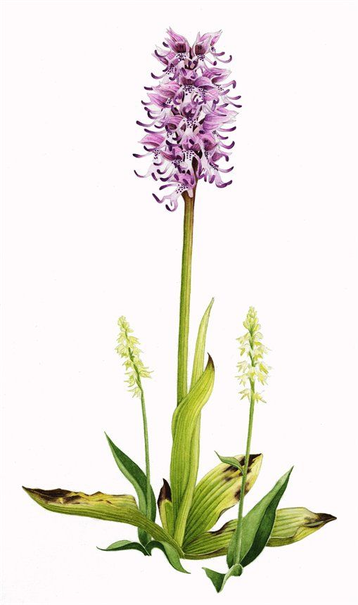 Pin By Pifpifpig On Botanical Illustration Monkey Orchid Orchids Botanical Drawings