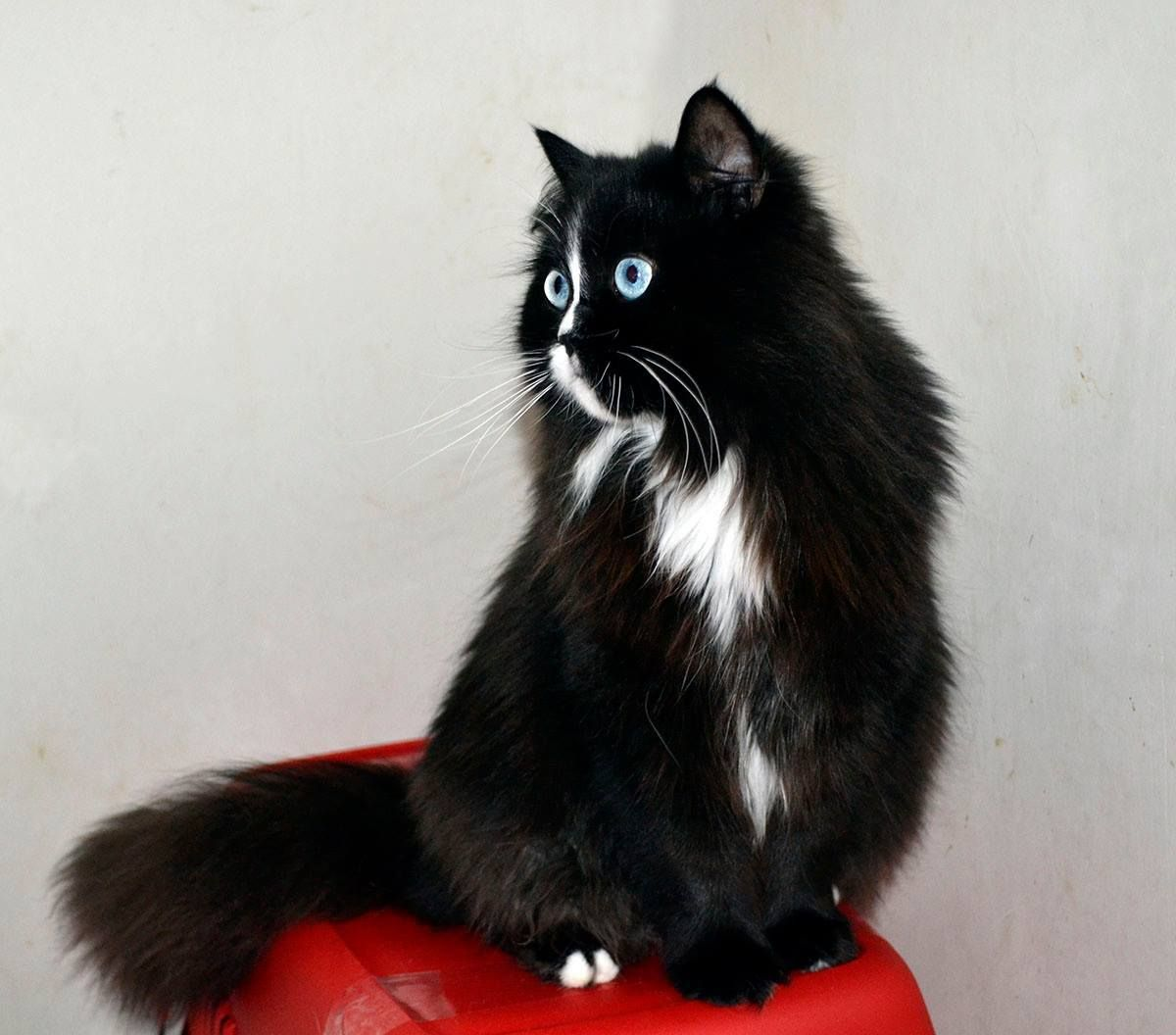 Pin By Alison Miller On Cute Animals Cat With Blue Eyes Cute Animals Cat Breeds