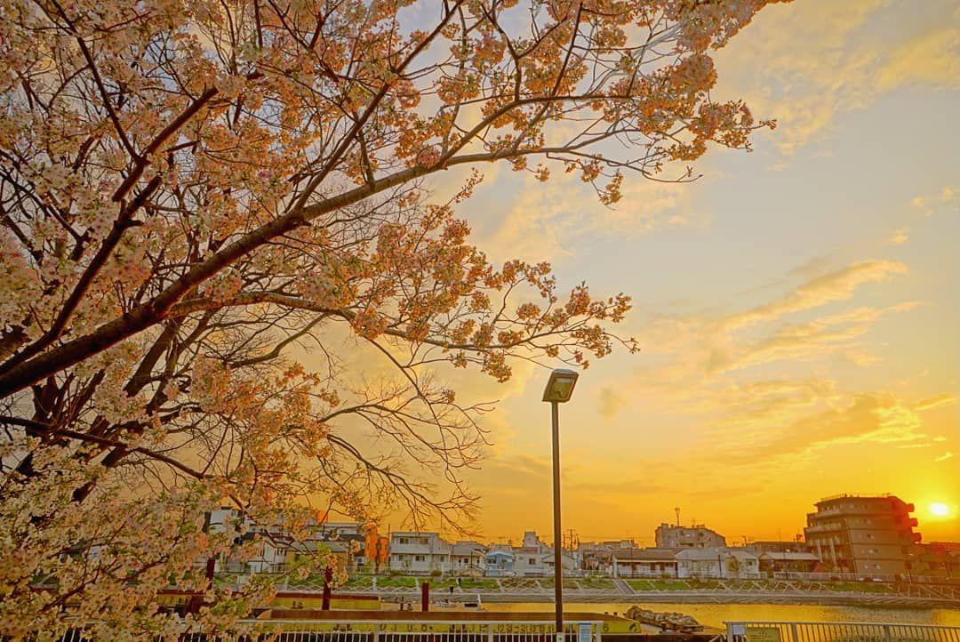 @sonner85 - Instagram:「#花 #花撮り人 #花撮り隊 #flowerlover  #instaflower #flower #マクロ #マクロレンズ #macro #bokeh #tv_flowers  #春 #spring #サクラ #桜 #夕陽 #夕日 #夕焼け #夕焼け空 #sunset…」