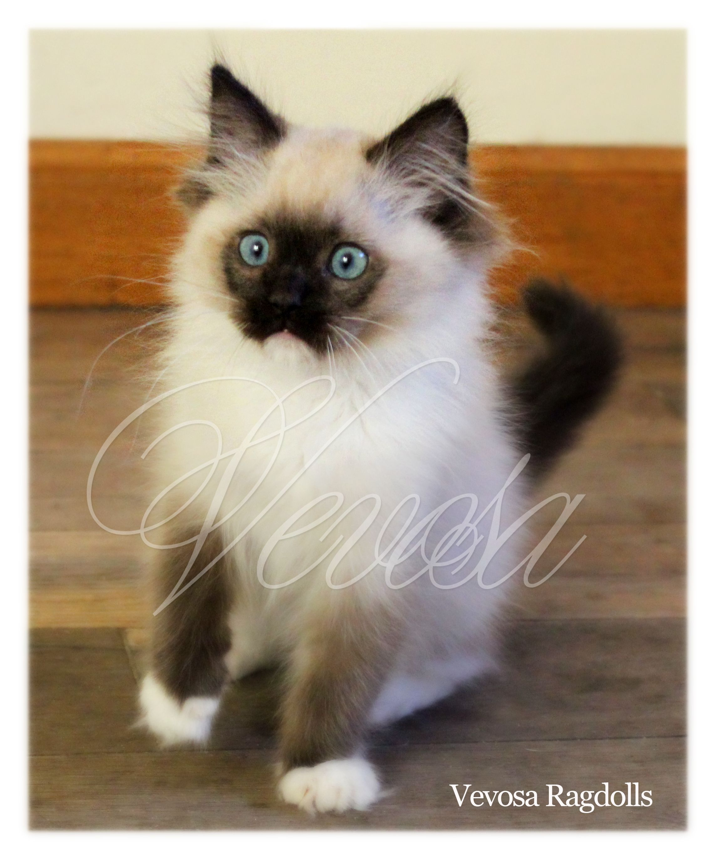 Rag Doll Cat Blue In 2020 Persian Cat Doll Face Beautiful Cats Cats