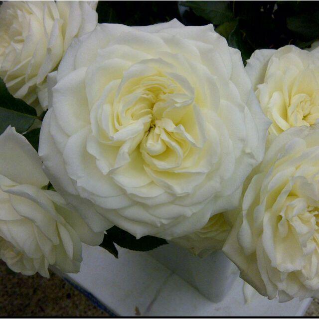 Alabaster Garden Roses: All Year $$$
