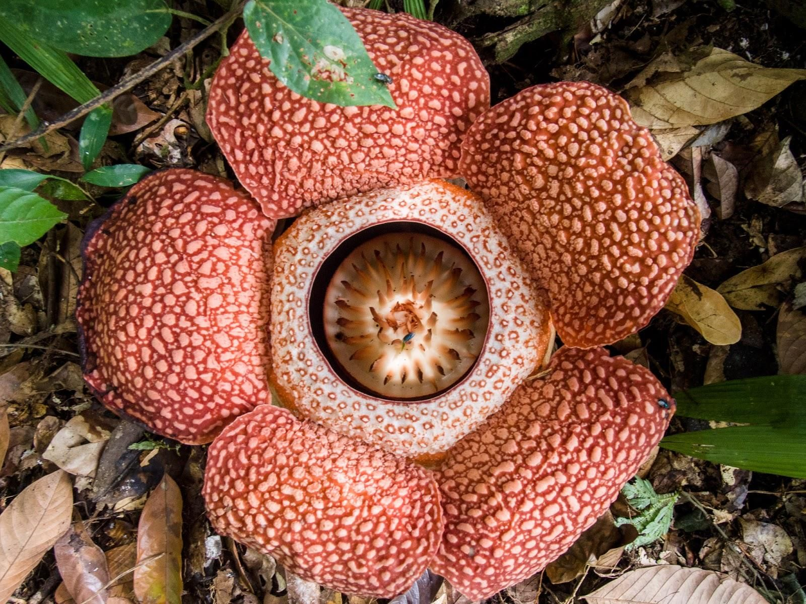 Corpse Flower Rafflesia Keithii The Corpse Flower Is Rare And Can Only Be Found In The Rainforests Of Indonesia The Corpse Flower Is A Pa Cicek Renkler