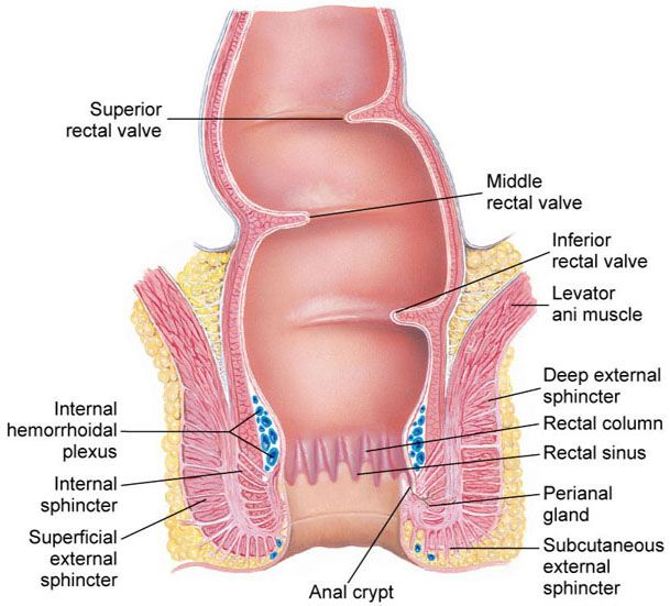 Rectum And Anus Nursing Pinterest Medical Students And Nclex