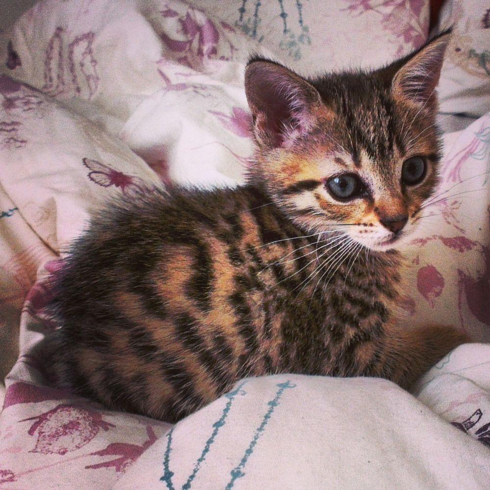 Poppythekitty Poppythekitty Vspets Internet Pet Competition Pet Photo Contest Enter Your Pet At Www Vspets Com Pretty Cats Gorgeous Cats Crazy Cats