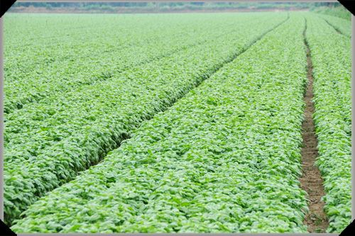 The Daily Spud:  fields of basil on the Amateis farm in the province of Alessandria in northern Italy