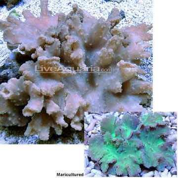 Cabbage Leather Coral Sinularia Brassica Care Level Easy Temperament Semi Aggressive Lighting Moderate To High Waterflow Coral Soft Corals Aquarium Fish