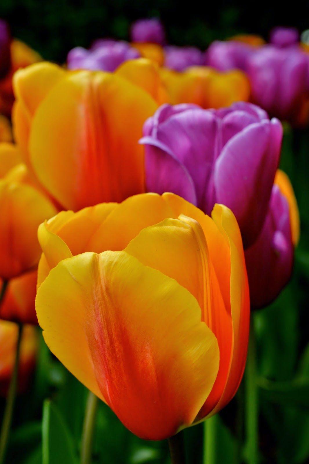 Zillions Of Tulips Tulips Flowers Petals
