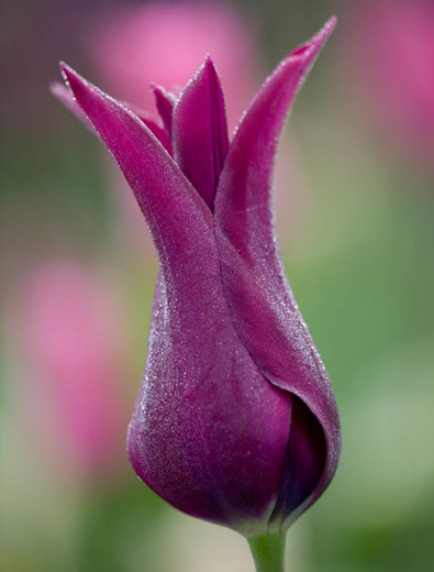 Tulipa Burgundy Lily Flowered Tulip Tulpaner