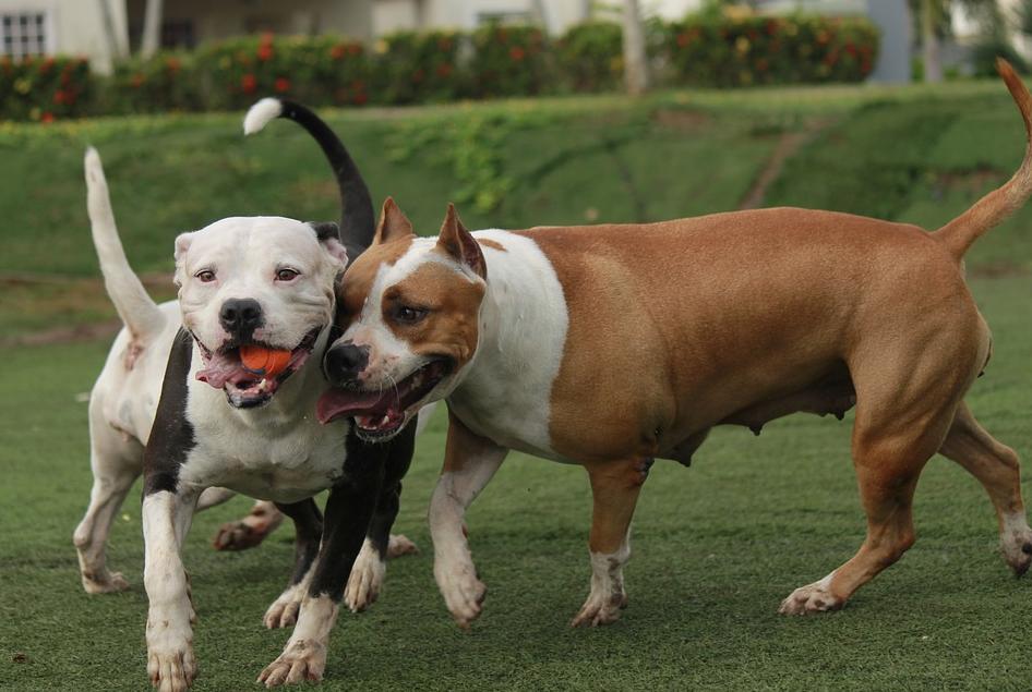How To Train A Pitbull Best Ways To Pitbull Training Guide Pitbulls