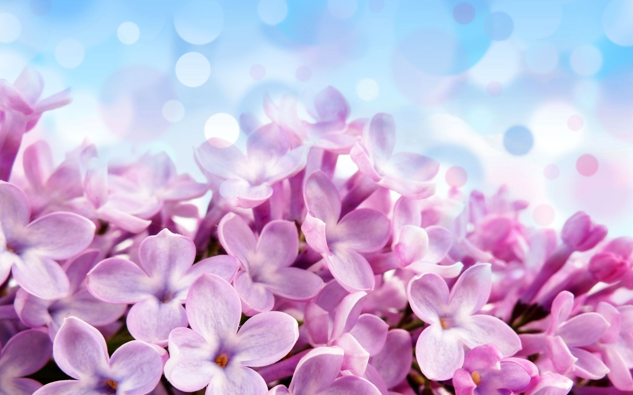 Purple Photo Lilac Flower Free Flower Wallpaper Flower Wallpaper Flowers