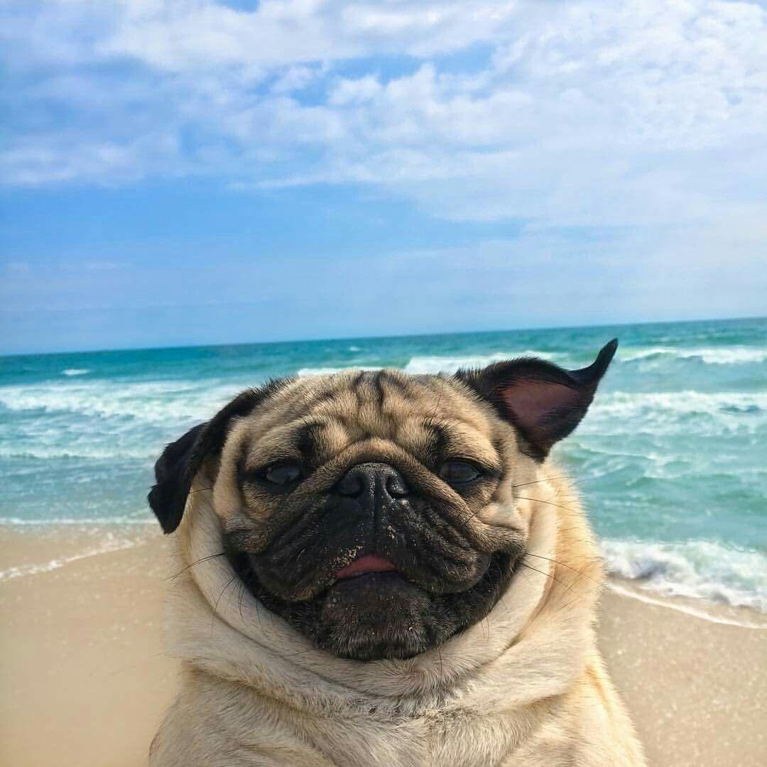 Beachin It Baby Pugs Pug Dog Pugs Funny