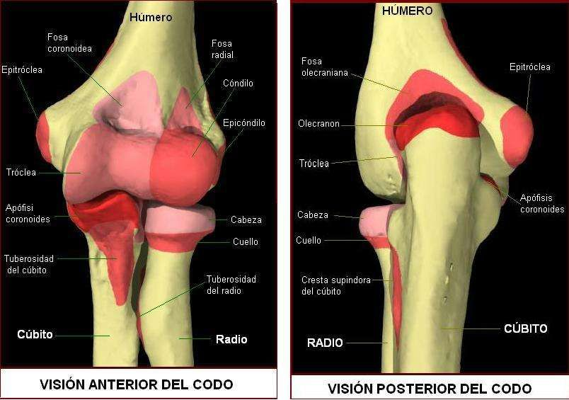 Anatomía osea del codo | Estructura Osea | Pinterest | Anatomía ...