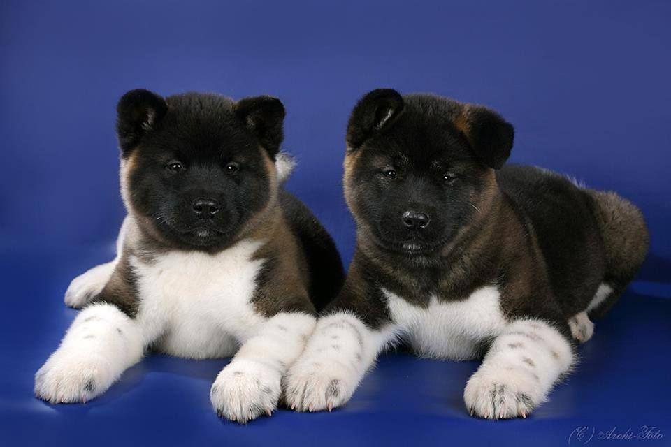 Puppies For Sale American Akita American Akita Puppies For Sale Akita