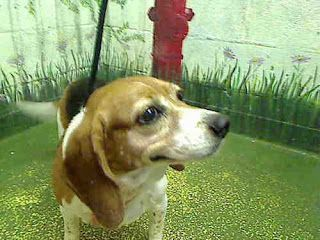 Life With Beagle Heading To Atlanta Georgia Beagles Up For