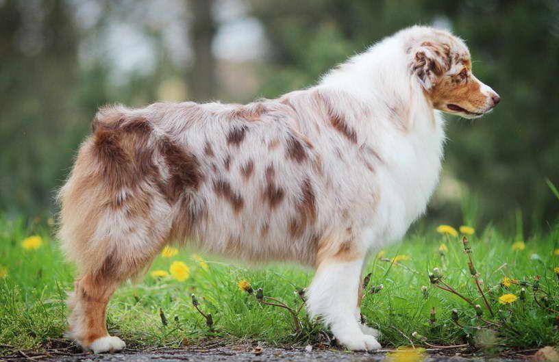Australian Shepherd Dogs For Sale Near Me Australian Shepherd Dogs Dogs For Sale Australian Shepherd