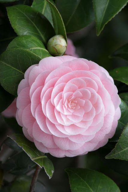 The Perfect Pink Camellia Content In A Cottage Flores Exoticas Flores Increibles Flores Bonitas