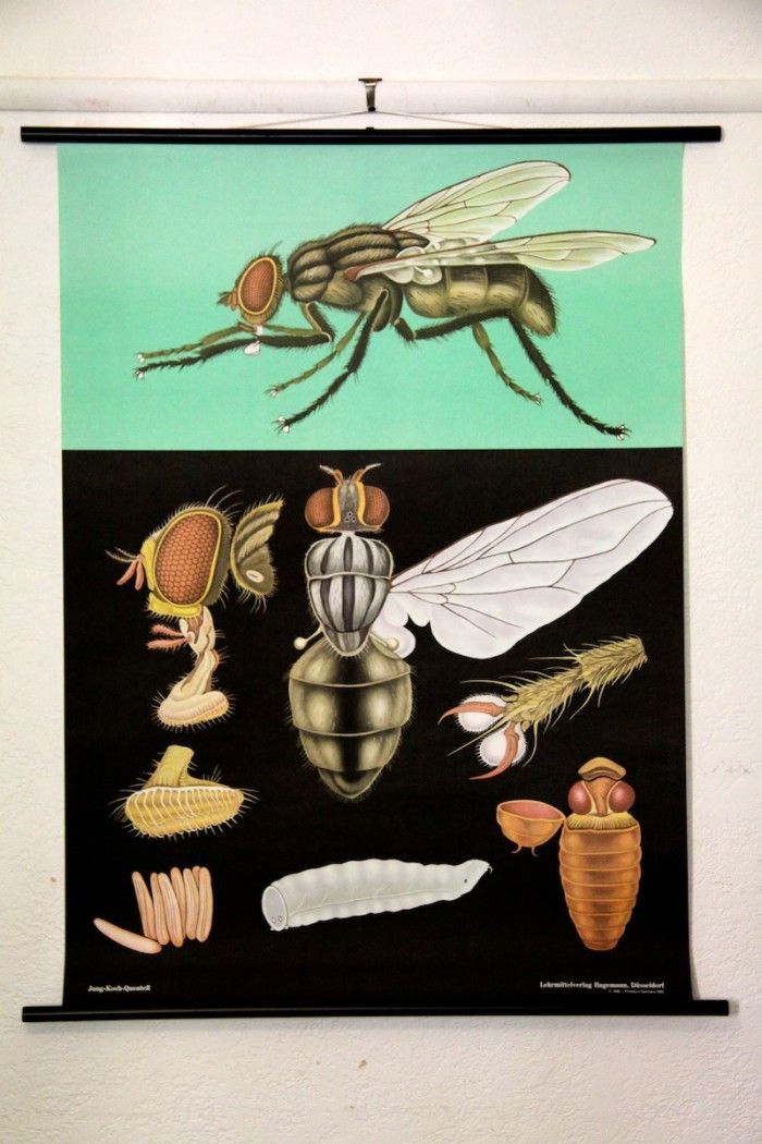 House Fly Zoological Wall Chart