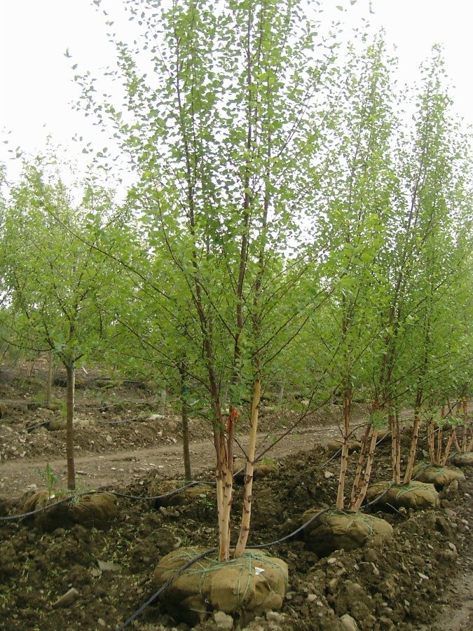 birch tree singles dating site Birch trees need a good spot, with moist cool soil but where the sun can reach its leaves all day north and east of a house is a good position in.