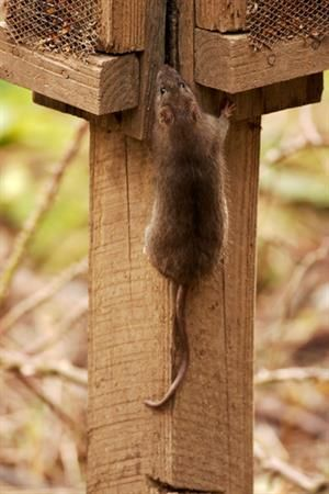 Image Result For Rat Climbing Wall Roof Rats Climbing Wall Rat